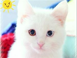 可爱纯种波斯猫,家养得