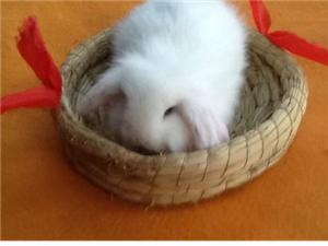 出售各种萌兔垂耳兔、狮子兔、猫猫兔、侏儒兔、暹罗兔、公主兔