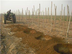 河北药都安国出售杜仲树、杜仲苗、杜仲籽