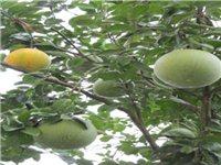 院子里的柚子