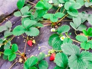 符江�r草莓成熟啦!�g迎采摘!