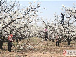 银杏树、几十年的大梨树、黑李子树急于出售